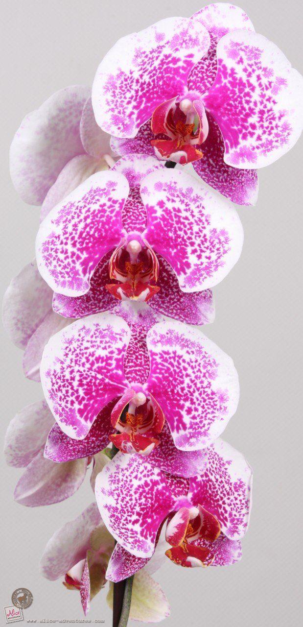 1000 images about beautiful phalaenopsis on pinterest. Black Bedroom Furniture Sets. Home Design Ideas