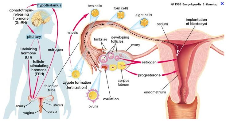 """Hypothalamic-pituitary cycle.  FSH: Stimulates development of ovarian follicles. LH: Stimulates the follicle to release the ovum. Gn-RH: Stimulates the release of the hormones FSH and LH from the pituitary. Estrogen & Progesterone: Falling levels of these 2 hormones stimulate the hypothalamus.  Corpus Luteum: Post-ovulation follicle develops into """"yellow body"""" that produces progesterone and some estrogen."""