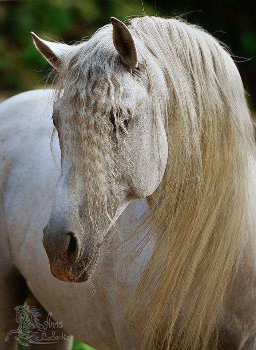 Zingaro. The Pura Raza Española (PRE) Stallion