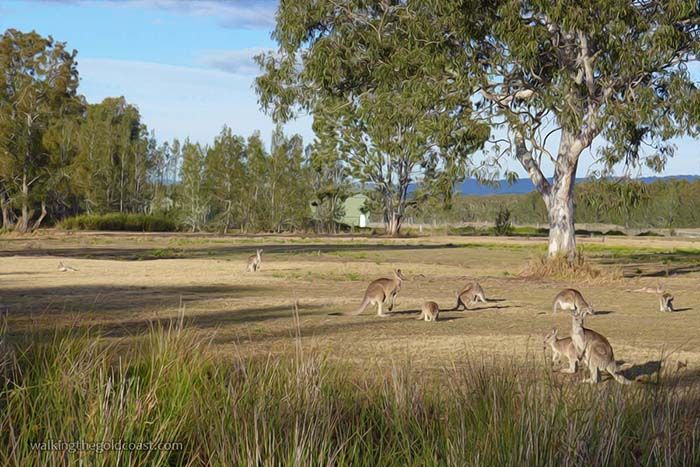 These Kangaroos were grazing at Coombabah Lakelands Conservation Area, a great place for a walk http://walkingthegoldcoast.com/wetlands/the-koala-track-at-coombabah-lakelands