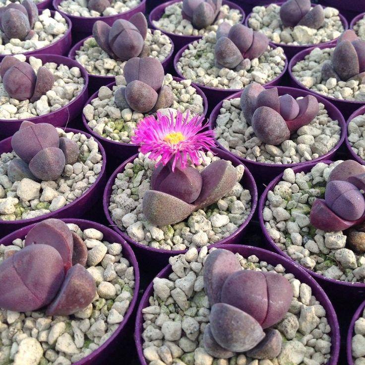 Pleiospilos nelii rubra, succulents, cactus