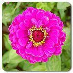 Organic Giant Purple Zinnia