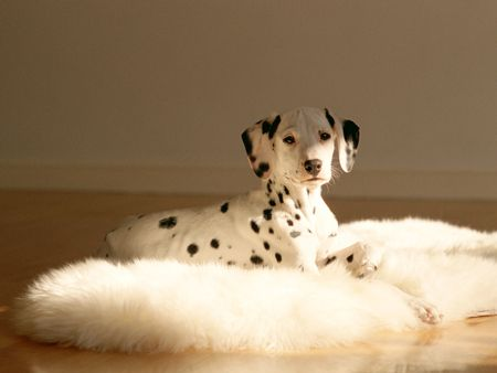Dalmatian: Graphics Design Studios, Dalmatians Plantation, My Heart, Puppys, Dalmatians Dogs, Dalmatians Wallpapers, Miss My Dogs, Animal, Dalmatians Pup