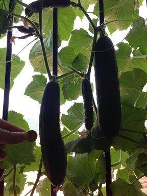 Les 25 meilleures id es de la cat gorie rebord pour for Entretien concombre jardin