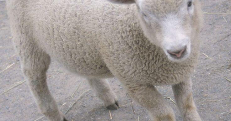 Cómo hacer orejas de oveja o cordero con bolas de algodón. Las orejas de oveja o cordero cubiertas con bolas de algodón hacen una adición suave y esponjosa para una actividad artesanal de un niño o un disfraz. Estas orejas pueden ofrecer a los niños pequeños la oportunidad de sentir diferentes texturas y aprender acerca de los animales. También pueden hacer una adición maravillosa para una lección de la ...