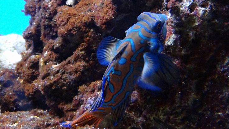 Blauwe mandarijnpitvis (Synchiropus splendidus)