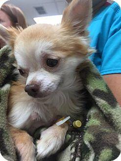 New York, NY - Pomeranian/Chihuahua Mix. Meet Skeeter, a dog for adoption. http://www.adoptapet.com/pet/16214543-new-york-new-york-pomeranian-mix