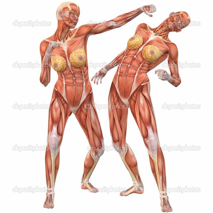 human body archives - page 18 of 60 - human anatomy chart, Muscles
