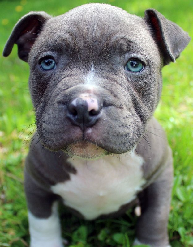 Pin On Bully Breeds Dogs