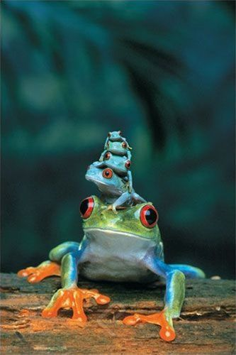 ~Red-Eyed Tree Frog, Mother and Babies ~ 4 baby tree frogs sit on their mother's head~~