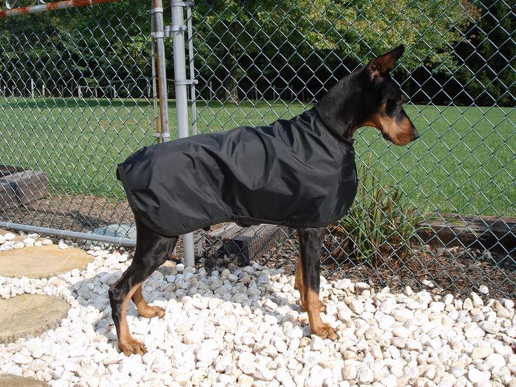 Doberman single coat
