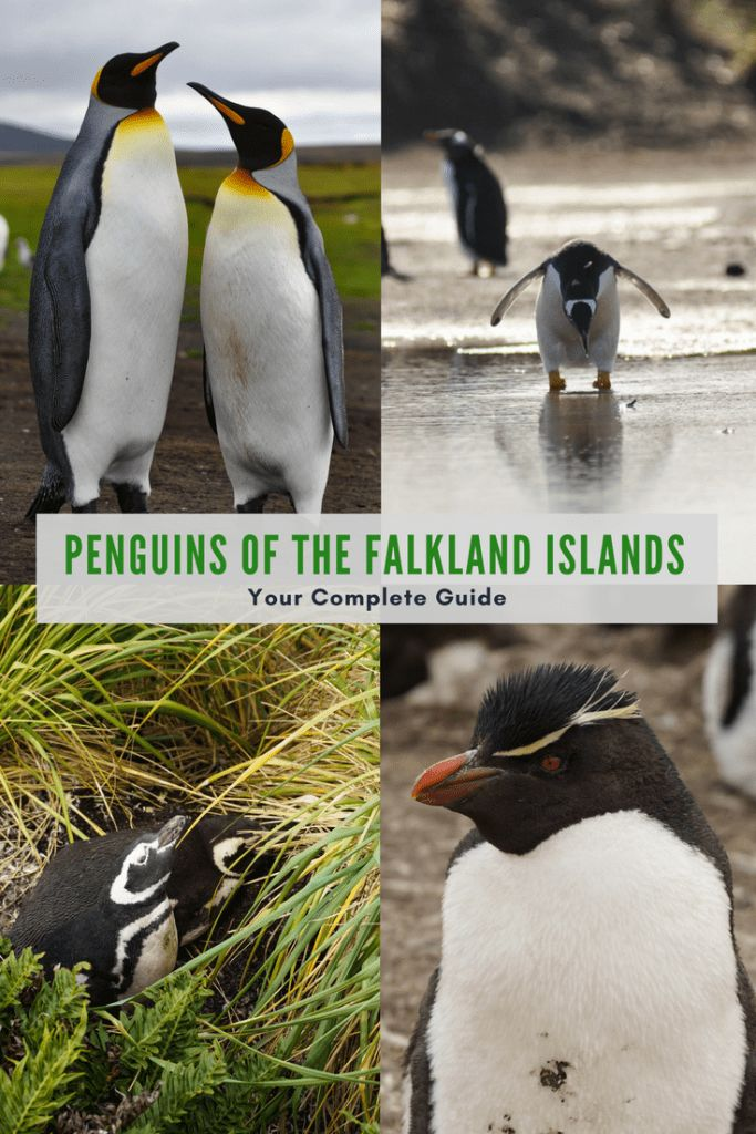 Wondering where the best place to see penguins is? Well now you've found it. The Falkland Islands penguins are abundant in nature, and the five different breeds all have unique appeal. Read the complete guide to the penguins of the Falkland Islands here!
