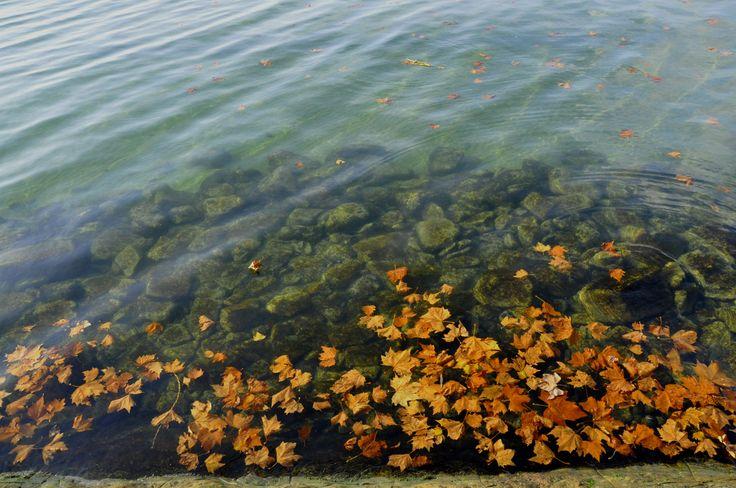 Vízben úszó falevelek. Balaton. Hungary. Autumn. Leaf.