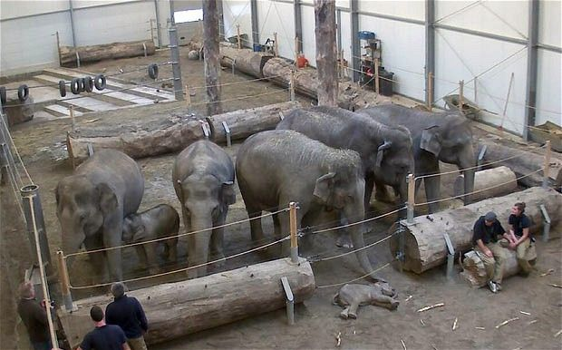 Reading this made me cry like a baby-Elephants say goodbye to Lola a dead elephant calf,at the Munich zoo.A baby elephant who tragically died at a German zoo was brought back to her herd so they could say goodbye.Lola, a three month old elephant, died on 21 January during a CT scan before an operation to fix a heart defect. She was brought back  so that her mother, Panang (22), could say farewell. Afterwards the herd gently nuzzled the lifeless body with their trunks and took their leave of her.Baby Elephants, Elephant Herd, Elephant Mourning, Lifeless Body, Heart Surgery, Dead Elephant, Heart Defect, Animal, Calves
