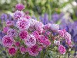 Romantischer Auftakt zum Rosengarten, Leinwandbild nach Wunsch.