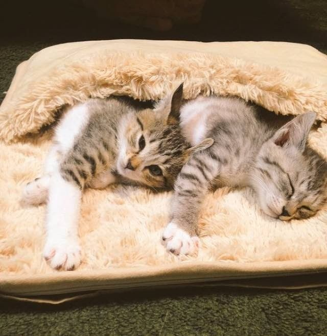 When Tora and Saba, two beautiful kittens sisters, found the heated foot warmer, they won against the winter cold. They immediately snugged inside and won't get out! It's so hot in ther…