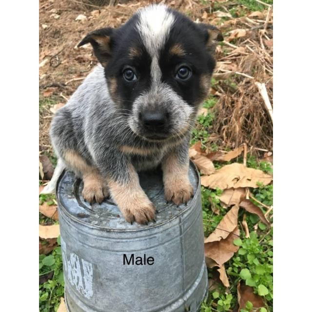 Australian Cattle Dog Asheville Full Blooded Blue Heeler Puppies Sire Red Heeler Dam Blue Heeler Have Pa Heeler Puppies Blue Heeler Puppies Blue Heeler