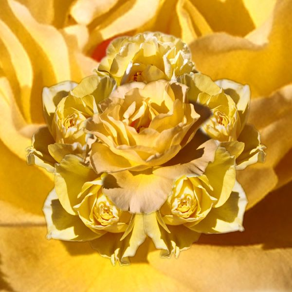 """Sunburst"" - Yellow Rose"