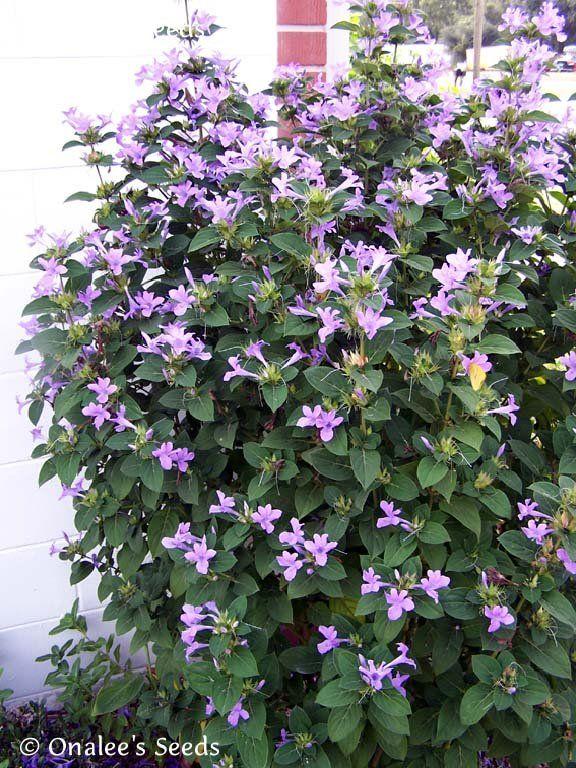 Philippine Violet Seeds Barleria Cristata Hardy Shrub
