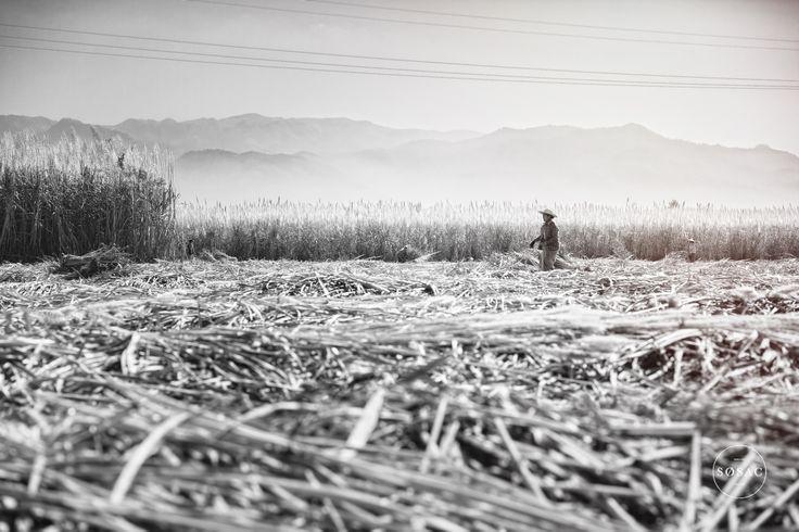 © Shane O Sullivan SOSAC Photography #Burma #Myanmar #inlelake #travelphotography #sugarcanefield