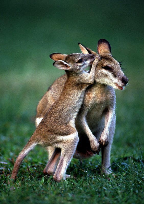 Baby Wallaby With It's Mother