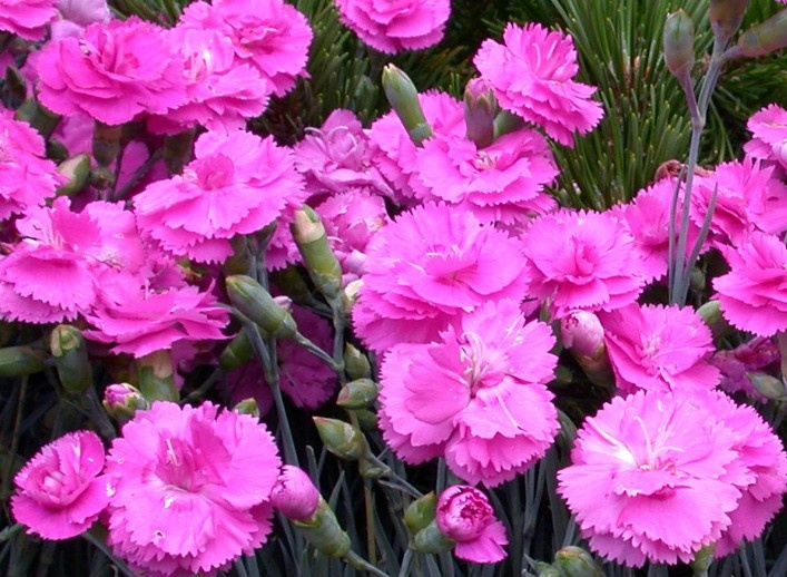 Whetman Pinks Dianthus 'Scent First™ Tickled Pink ...