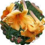 African Queen лилия трубчатая