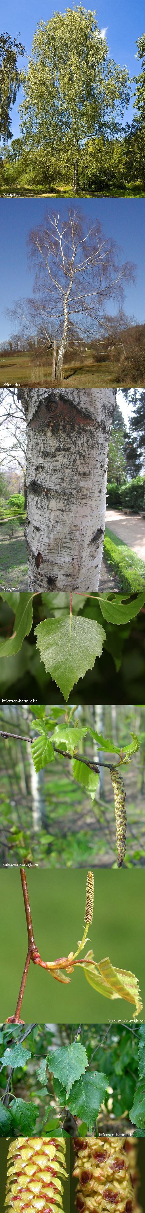 Betula pendula -- Ruwe berk -- Inheems -- pionierplant -- Mooie herfstverkleuring als hij op een zonnige plaats staat -- Verdraagt geen natte grond -- Opletten voor allergie tegen berkenstuifmeel -- Niet geliefd als tuinboom wegens 'vuile' boom: katjes vallen af, van juli tot september vallen bladeren af.