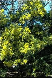 Brisbane wattle Acacia fimbriata graceful open tree with drooping foliage; lemon pom-pom blossom; fast growing but short lived