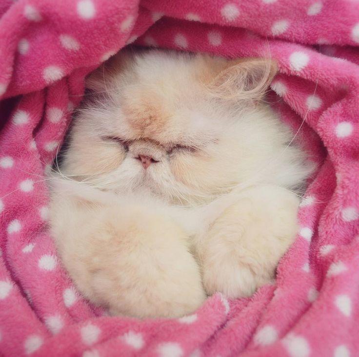 Bom Dia #LordAriesCat www.LordAriesCat.com #cat #cats #kitten #kittens #kitty #cute #cutest #funnie #funny #persian #persa #himalayan #himalaya #creampoint #lordaries #lordariescat #pet #pets #animal #animals