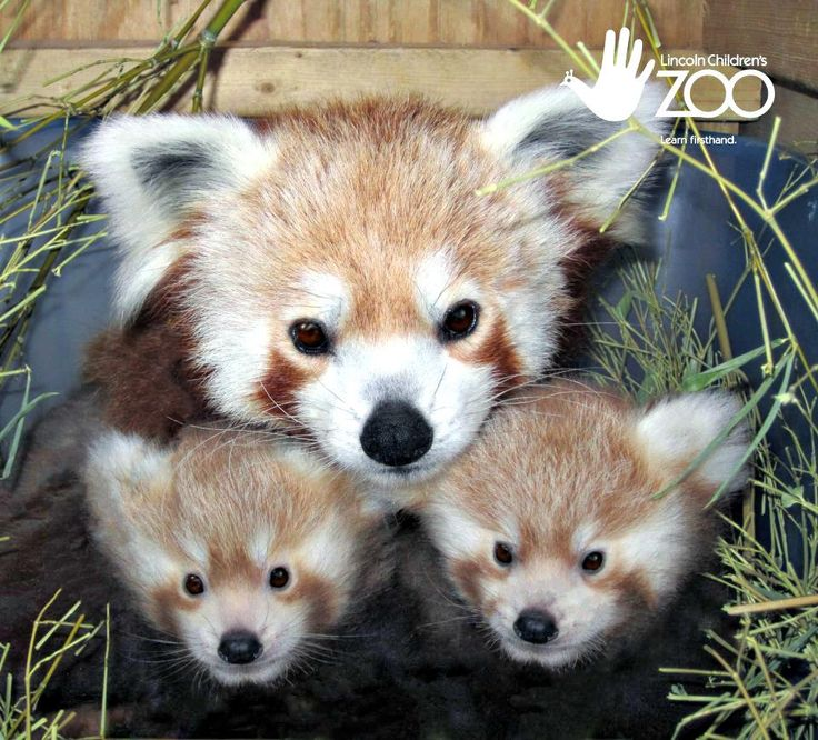 Twin Baby Red Pandas born at the Lincoln Zoo!  I want them!!!  <3