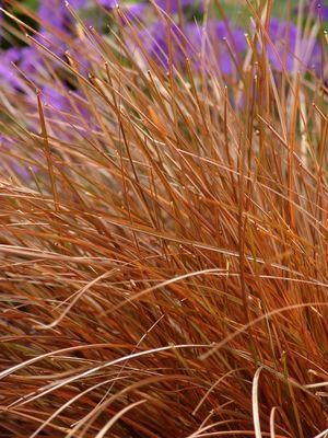 The 25+ best Carex full sun ideas on Pinterest Carex for sun - carex bronze reflection