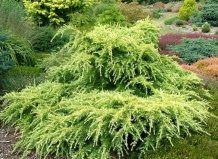 Садоводство: Кедр гималайский Голден Оризон Cedrus deodara 'Gol...