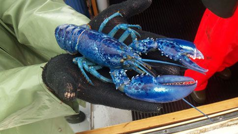 Rare Blue Lobster Caught off Coast of P.E.I. to Live Out Life as Sideshow Attraction - Bon Appétit