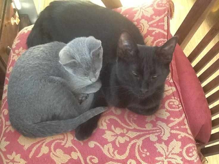 Russian blue and black kittens snuggling in the sunshine.