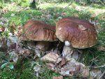 Pilze sammeln ist eine Passion. Hier findest Du Top-Pilzsammler, die Dich auf Entdeckungstour in ihre Waelder und in das Reich der Schwammerl mitnehmen.