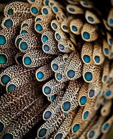 Color - colour inspiration - Feathers of male Bornean Peacock Pheasant