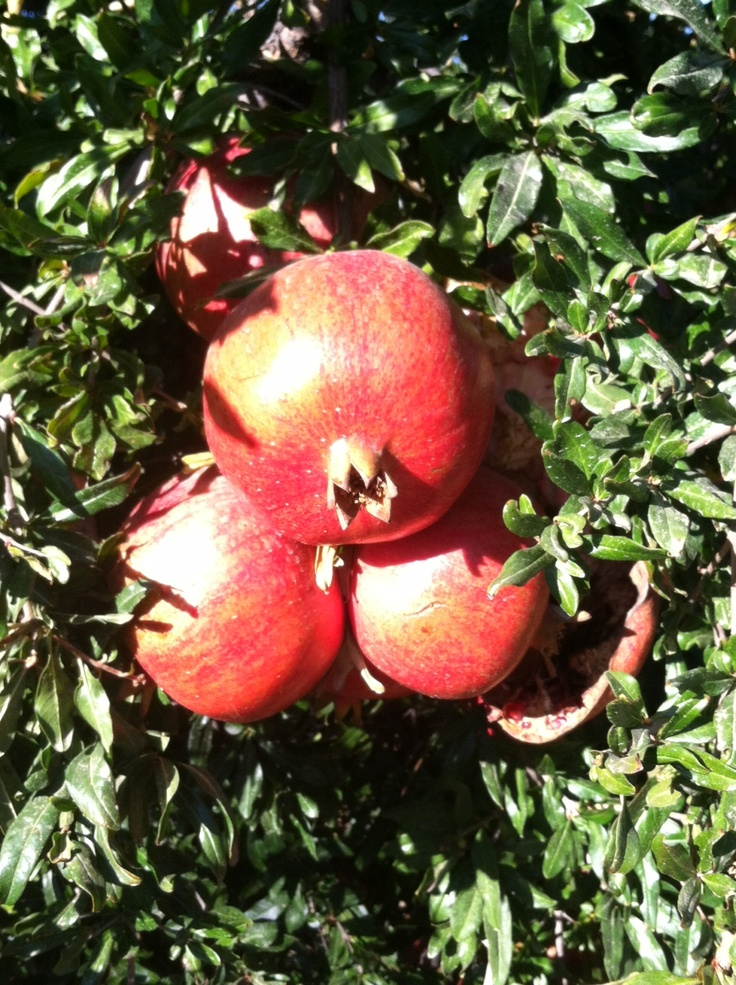 Pomegranates on the tree in the POM orchard.