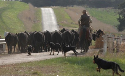 The kelpie is a rare breed, dating back to 1871.  The original sheep and cattle herding dog.