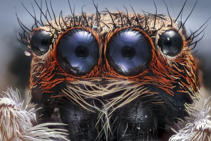 Detalle de una araña saltadora.