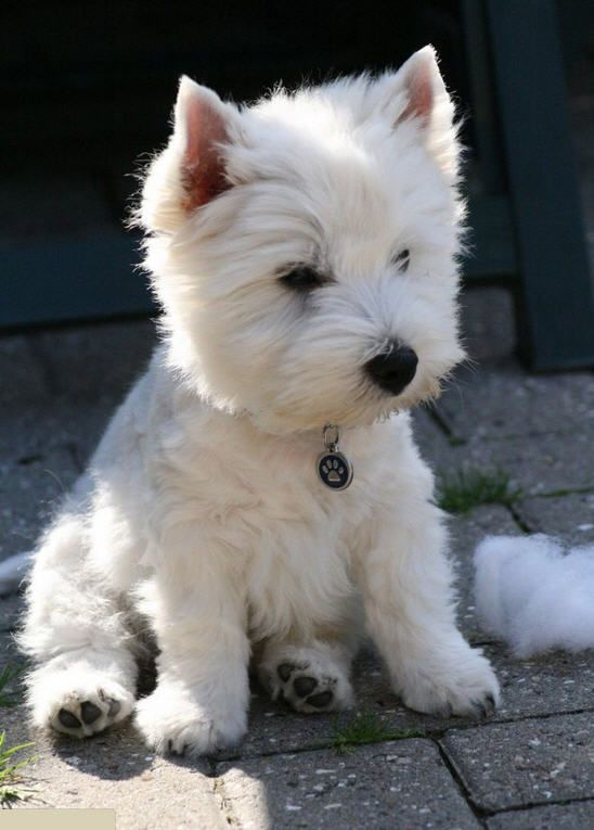 West Highland White Terrier. So cute