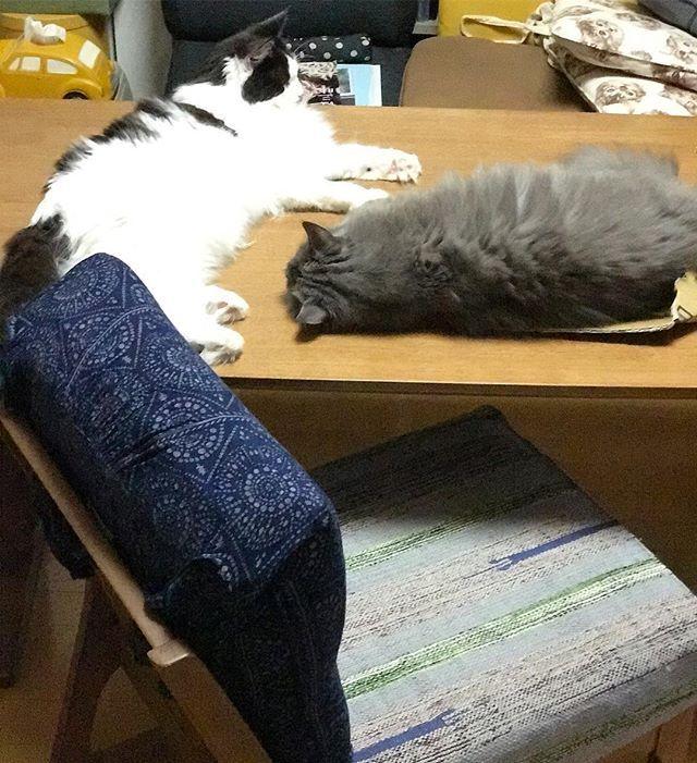 君たち〜このありさま〜ここでご飯を食べれるのかー!右に20センチ位スペースあるからいいかっ!もう何でもいいのだ! .. ... . #猫好きさんと繋がりたい #ねこ #instagramcat #にゃんだふるらいふ #ニャンスタグラム #家猫 #cats #nebelung  #こしあんブルー #猫との暮らし #猫が好き #やっぱり猫が好き #ふわもこ部 #ねこもふ団 #ねこすたぐらむ #愛猫 #グレー猫男子部 #ねこちゃん #グレー猫部 #タボさん #ハチワレ #タボみく#みんねこ #テーブル占領隊  #ダンボラーズ