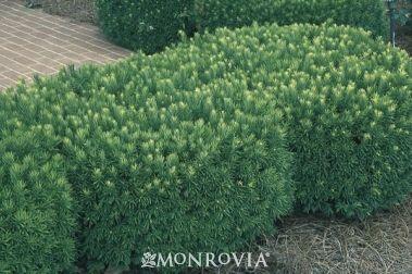 Japanese Plum Yew  Cephalotaxus harringtonia var. drupacea  full to part shade; evergreen; 6' to 10'