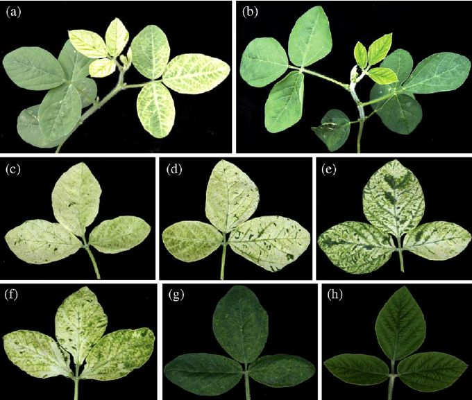 Fig. 7. Virus-induced gene silencing (VIGS) of the soybean PDS gene. (a, b) Phenotypes of soybean plants 21 days postinoculation with the BPMV vector carrying a fragment of the soybean PDS gene (pGG7R2-PDS) and empty vector control (pGG7R2), respectively. (c – f) Representative 3rd trifoliolate leaves from soybean plants previously inoculated with the pGG7R2-PDS vector showing different degrees of photobleaching are shown. (g) A soybean plant previously inoculated with the vector control…