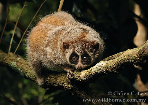 Pygmy slow loris - Slow lorises can be found across South East Asia, from Bangladesh and China's Yunnan province to the island of Borneo. The pygmy slow loris in this image is a rare, omnivorous creature from lowland forests of Indochina. It was photographed at the Endangered Primate Rescue Centre in Vietnam.
