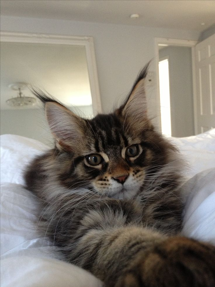 Maine coon cat adoption in melbourne