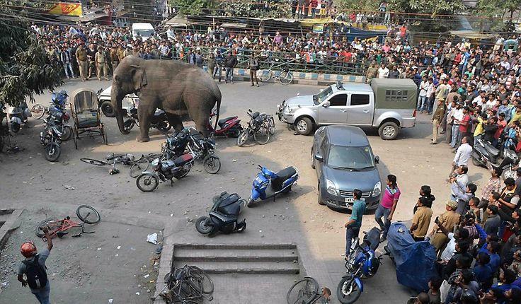 De Indiase stad Siliguri kreeg woensdag bezoek van een wilde olifant. Het dier was vanuit een nabijgelegen bos de drukke straten van de stad binnengelopen, op...