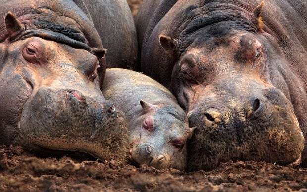 A family of hippos take a nap in the mud  Picture: MARINA CANO/ BARCROFT MEDIA