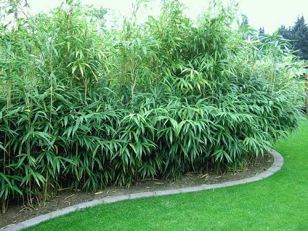 Bambus Hecke vor Badezimmer