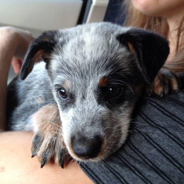 Our new Blue Heeler puppy :)